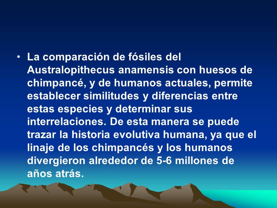 La comparación de fósiles del Australopithecus anamensis con huesos de chimpancé, y de humanos actuales, permite establecer similitudes y diferencias entre estas especies y determinar sus interrelaciones.