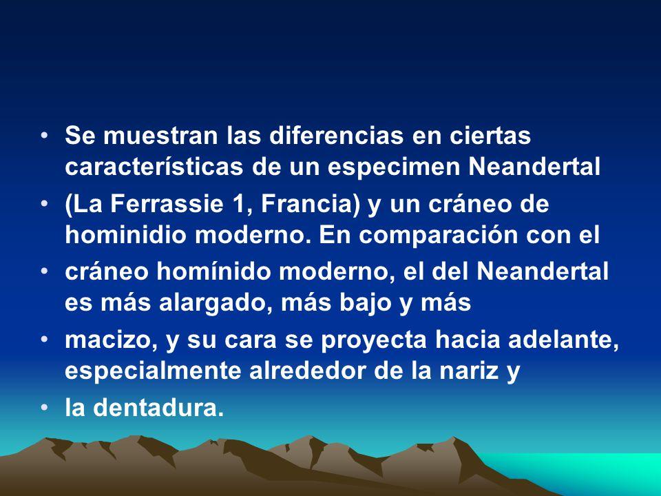 Se muestran las diferencias en ciertas características de un especimen Neandertal