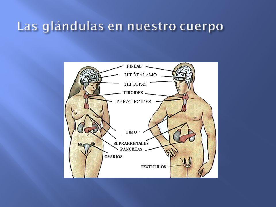 Las glándulas en nuestro cuerpo