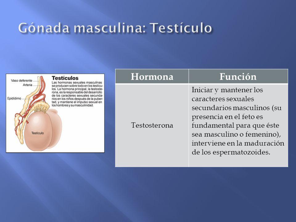 Gónada masculina: Testículo