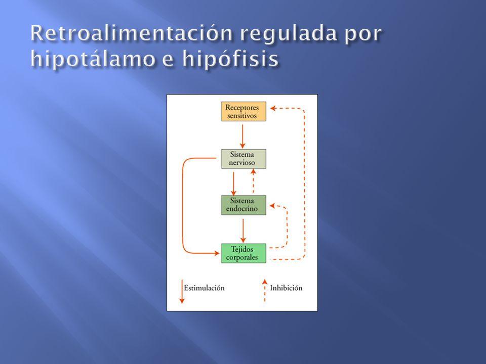 Retroalimentación regulada por hipotálamo e hipófisis