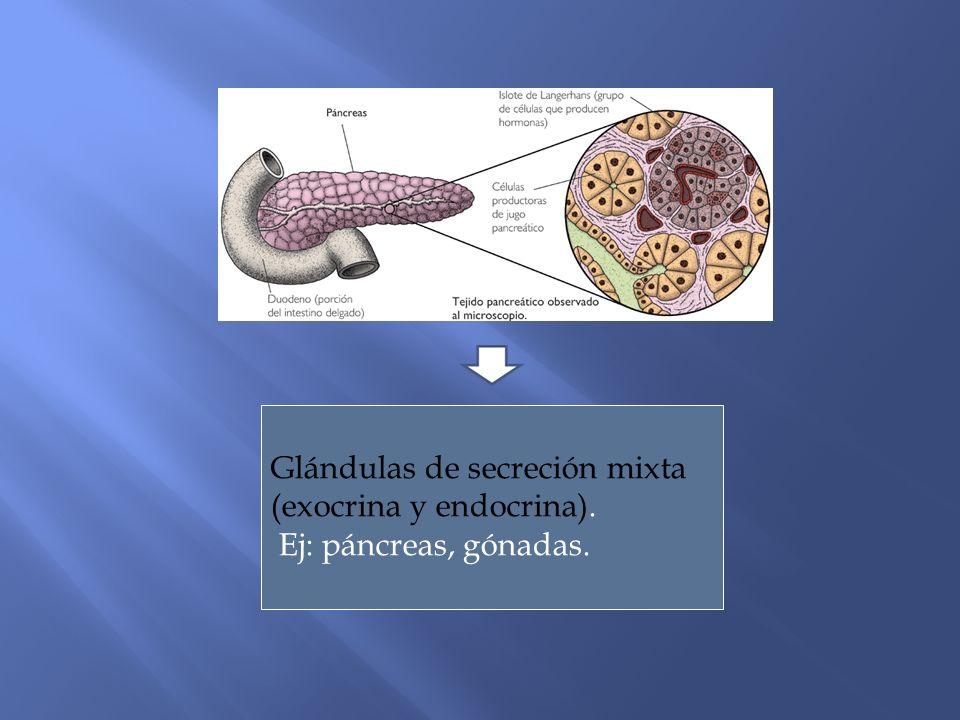 Glándulas de secreción mixta (exocrina y endocrina).