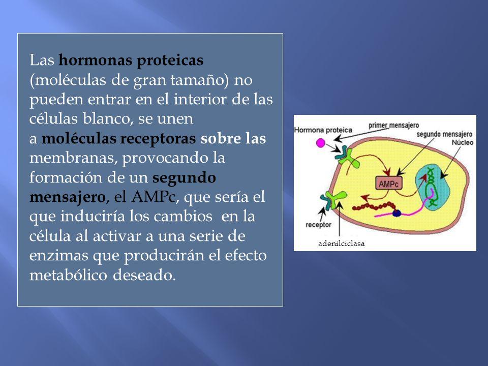 Las hormonas proteicas (moléculas de gran tamaño) no pueden entrar en el interior de las células blanco, se unen a moléculas receptoras sobre las membranas, provocando la formación de un segundo mensajero, el AMPc, que sería el que induciría los cambios en la célula al activar a una serie de enzimas que producirán el efecto metabólico deseado.