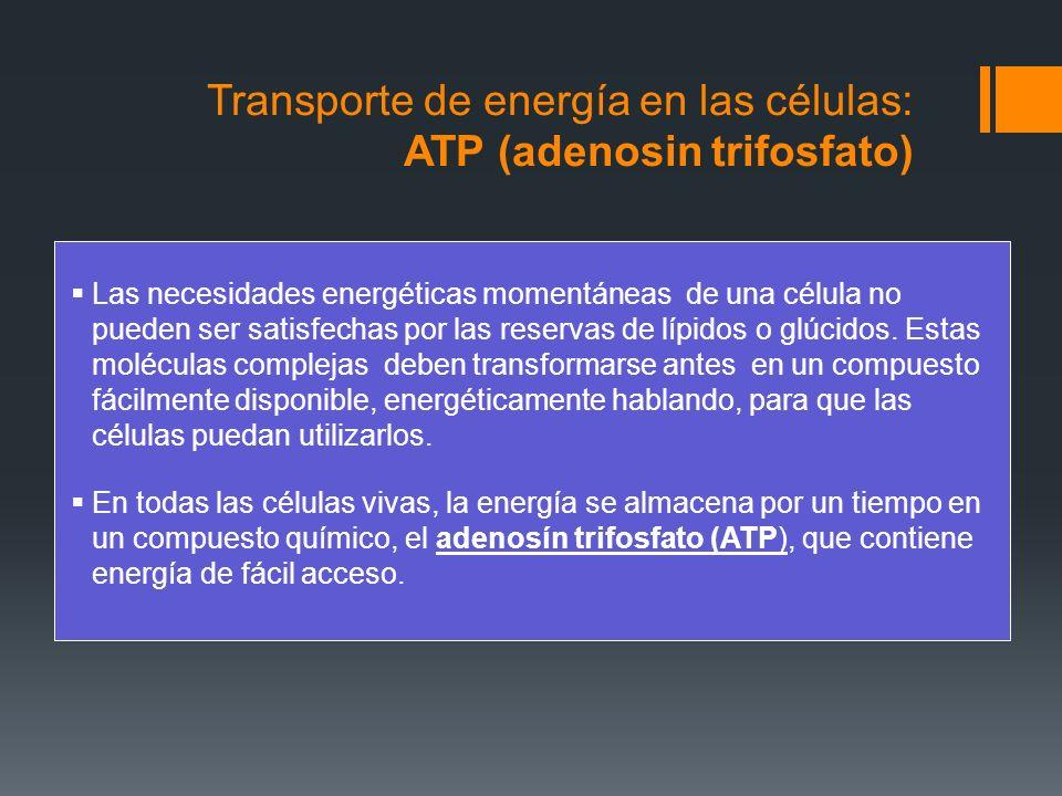 Transporte de energía en las células: ATP (adenosin trifosfato)