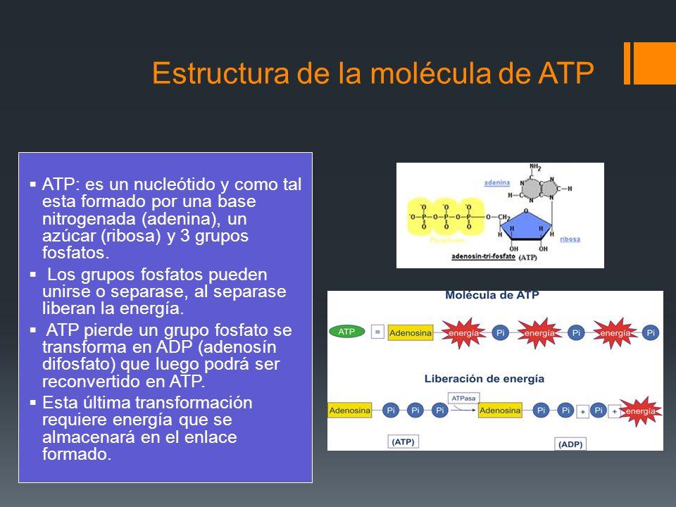 Estructura de la molécula de ATP