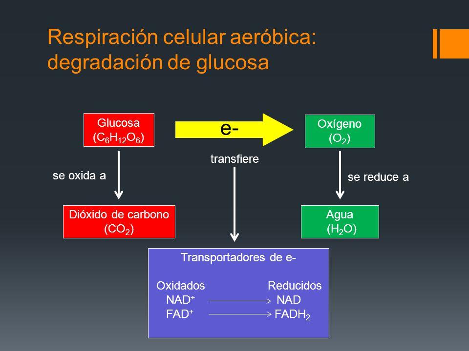 Respiración celular aeróbica: degradación de glucosa