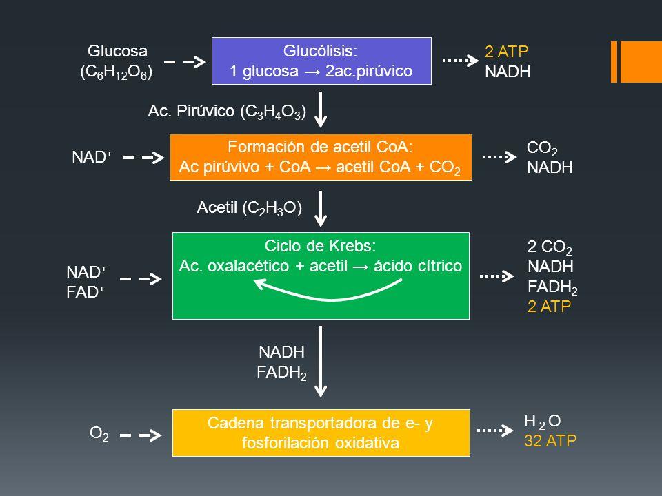 Formación de acetil CoA: Ac pirúvivo + CoA → acetil CoA + CO2 CO2 NADH