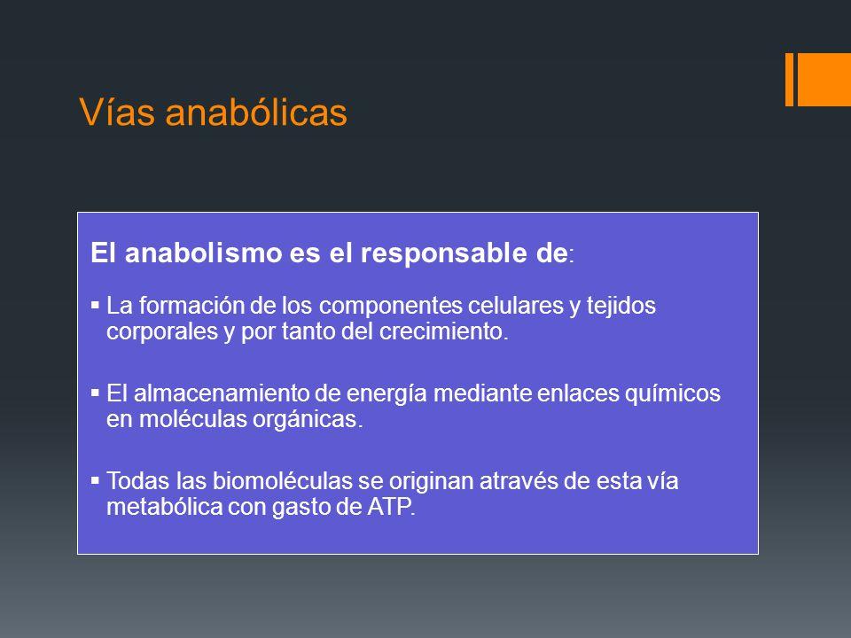 Vías anabólicas El anabolismo es el responsable de:
