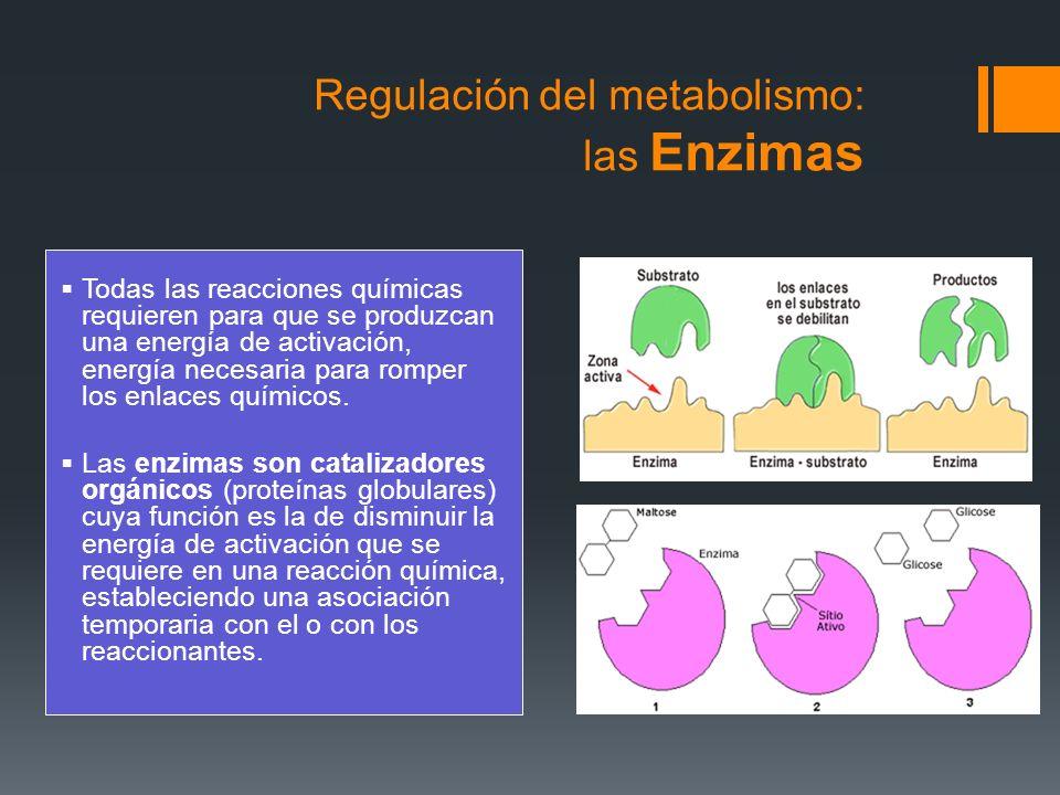 Regulación del metabolismo: las Enzimas