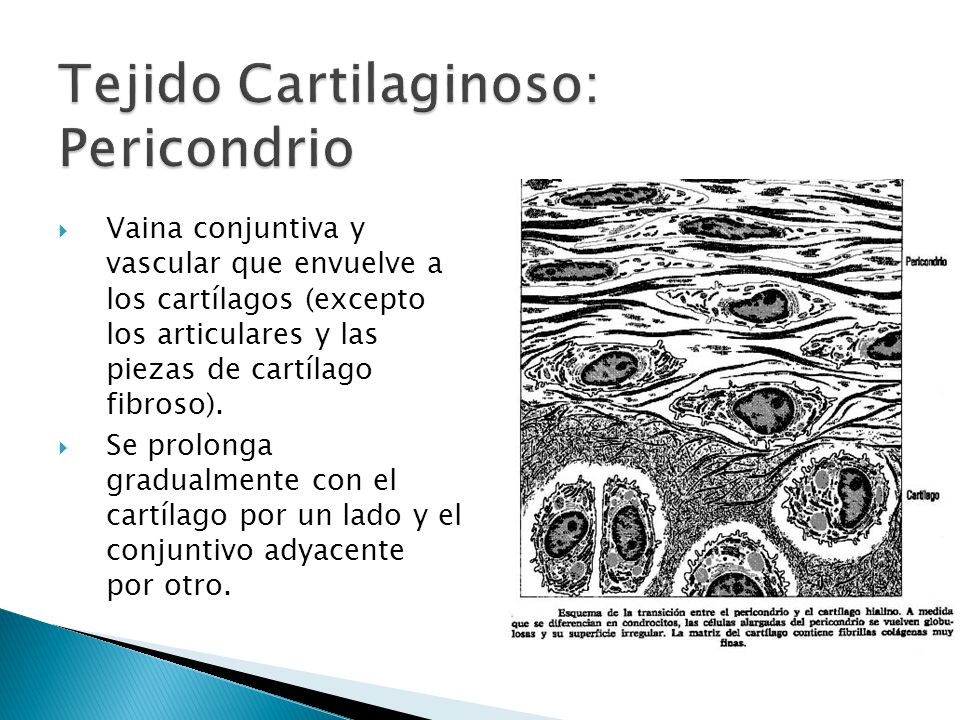 Tejido Cartilaginoso: Pericondrio