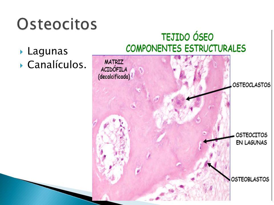 Osteocitos Lagunas Canalículos.