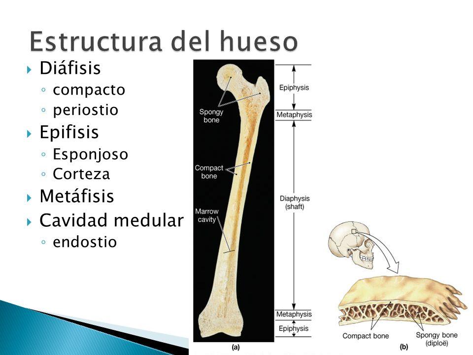 Estructura del hueso Diáfisis Epifisis Metáfisis Cavidad medular