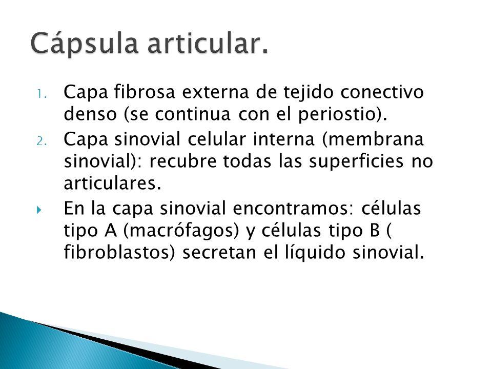 Cápsula articular. Capa fibrosa externa de tejido conectivo denso (se continua con el periostio).