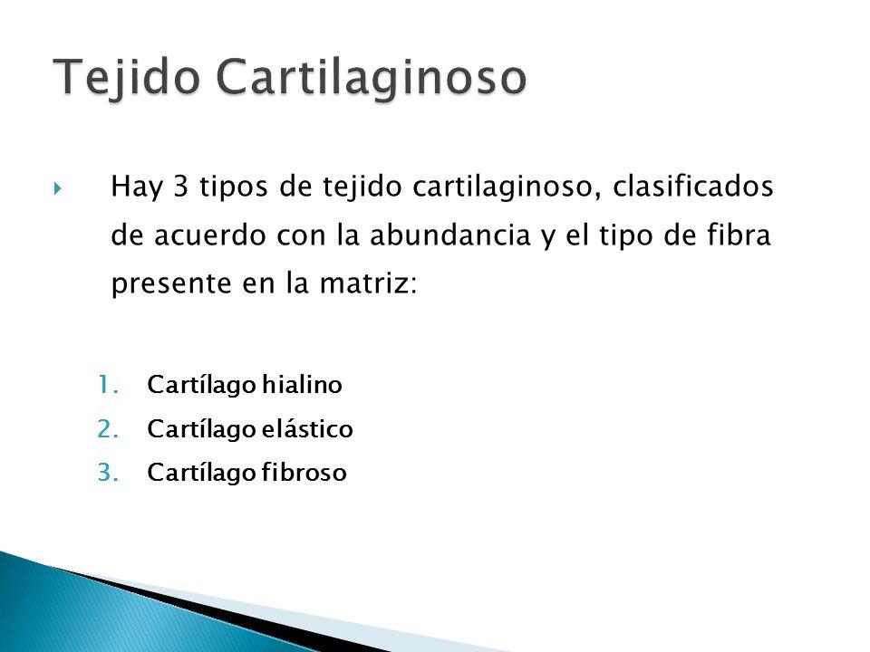 Tejido Cartilaginoso Hay 3 tipos de tejido cartilaginoso, clasificados de acuerdo con la abundancia y el tipo de fibra presente en la matriz: