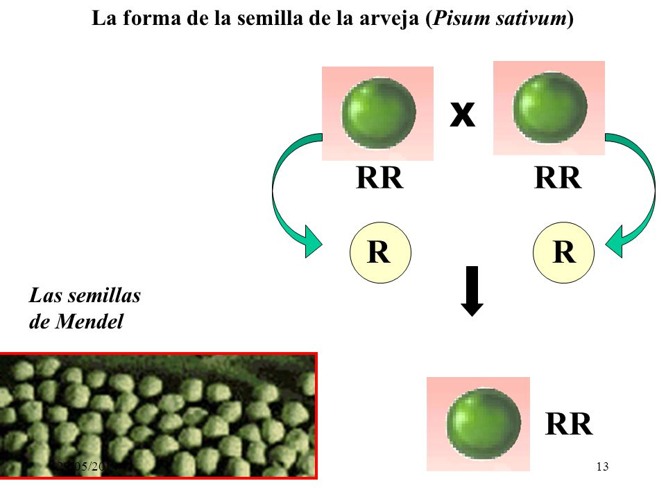 La forma de la semilla de la arveja (Pisum sativum)