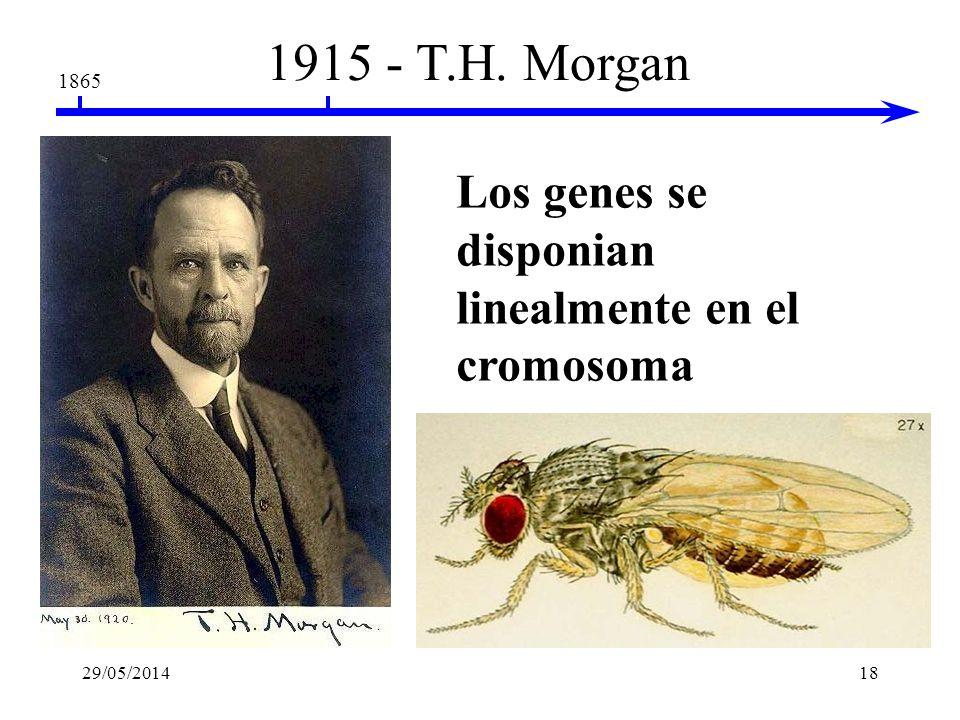 1915 - T.H. Morgan Los genes se disponian linealmente en el cromosoma