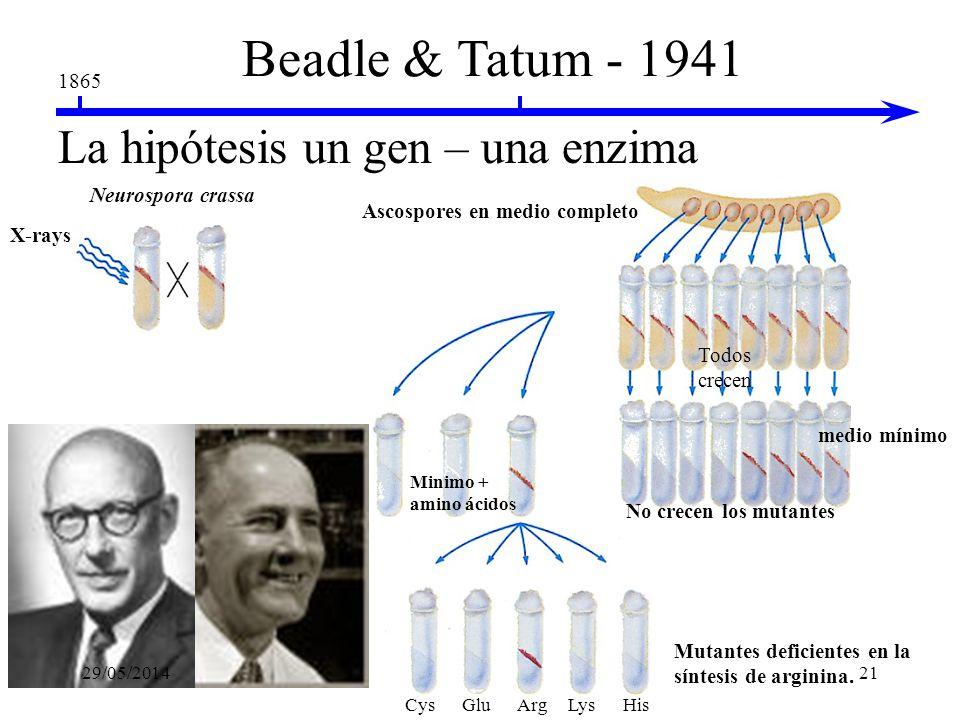 Beadle & Tatum - 1941 La hipótesis un gen – una enzima 1865