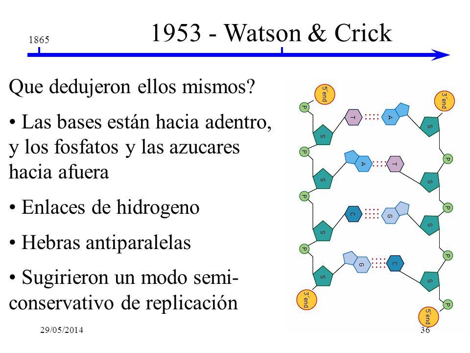 1953 - Watson & Crick Que dedujeron ellos mismos