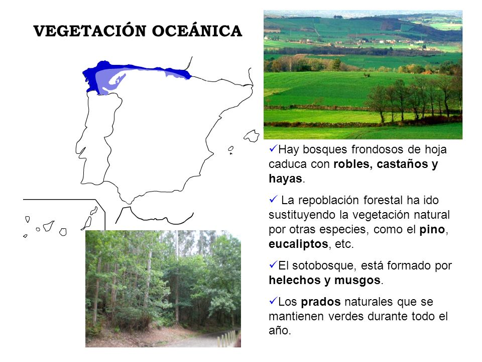 VEGETACIÓN OCEÁNICA Hay bosques frondosos de hoja caduca con robles, castaños y hayas.