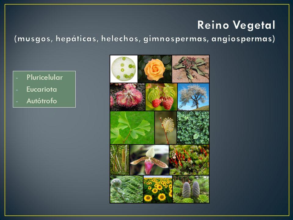 Reino Vegetal (musgos, hepáticas, helechos, gimnospermas, angiospermas)
