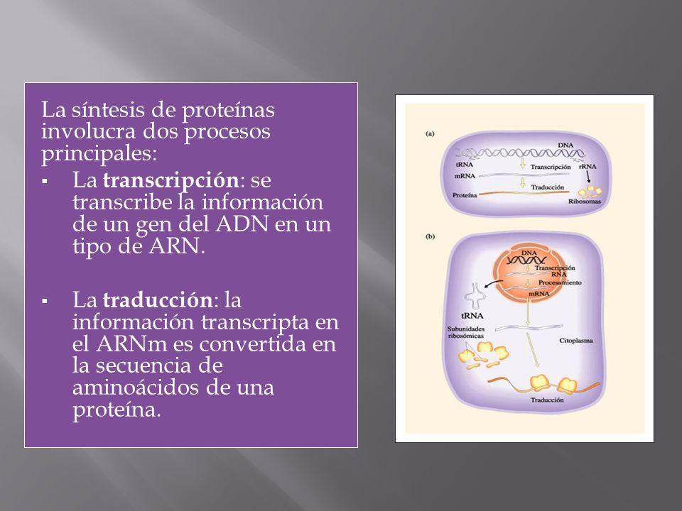 La síntesis de proteínas involucra dos procesos principales: