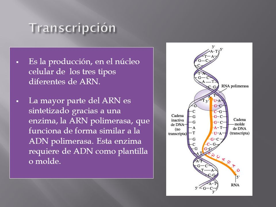 Transcripción Es la producción, en el núcleo celular de los tres tipos diferentes de ARN.