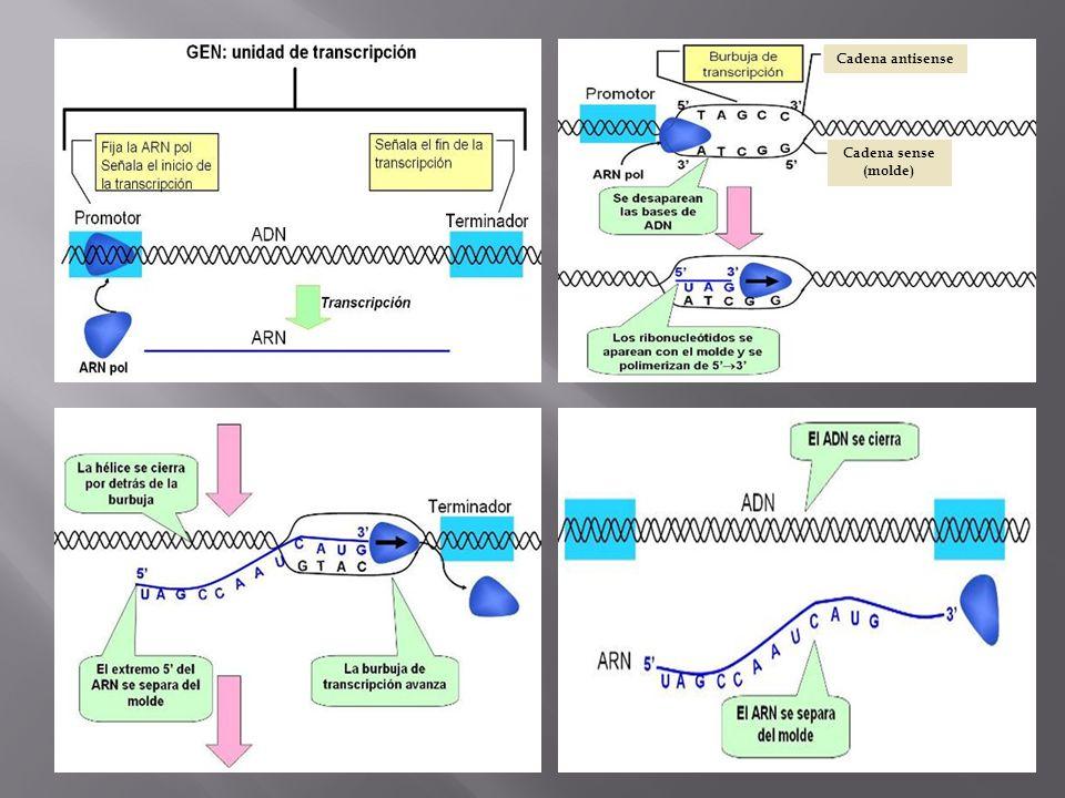 Cadena antisense Cadena sense (molde)