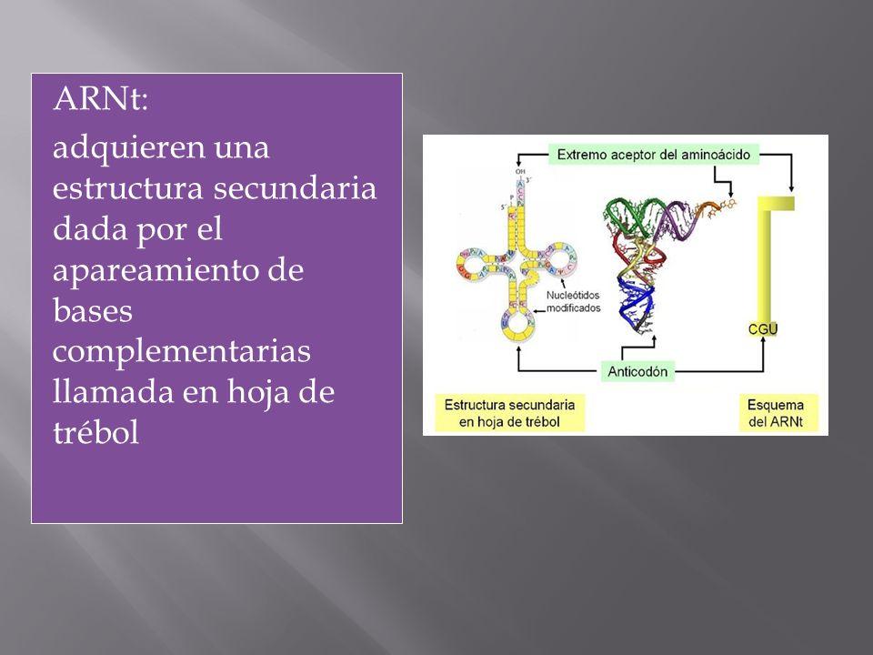 ARNt: adquieren una estructura secundaria dada por el apareamiento de bases complementarias llamada en hoja de trébol.