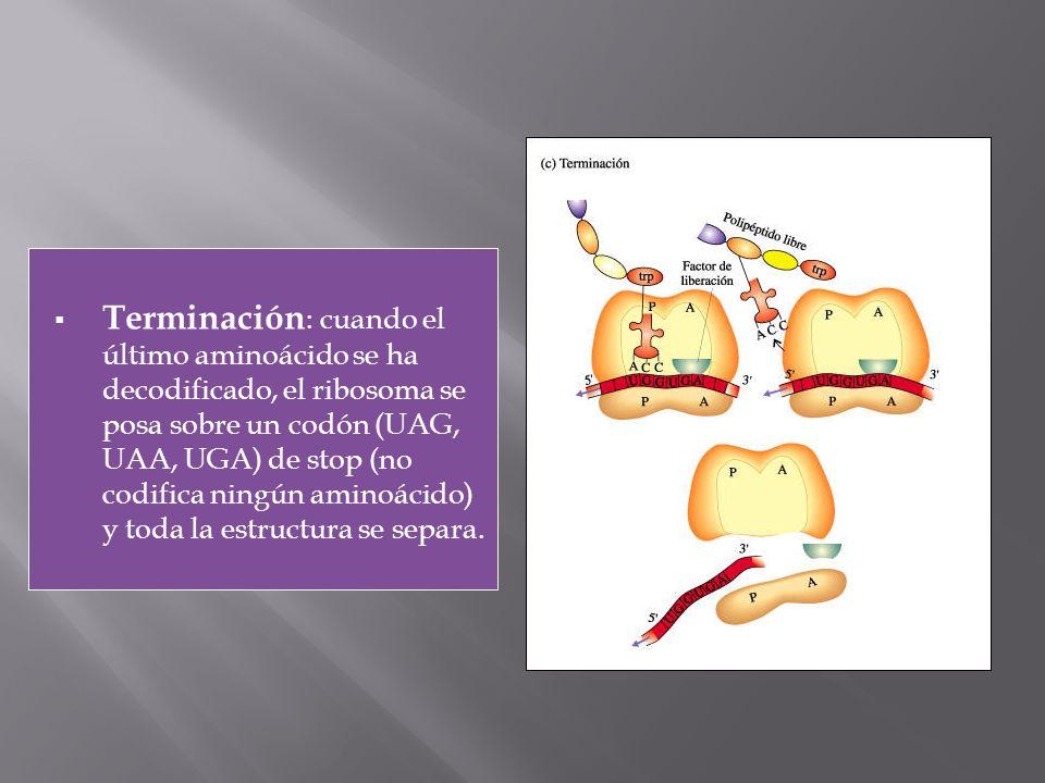 Terminación: cuando el último aminoácido se ha decodificado, el ribosoma se posa sobre un codón (UAG, UAA, UGA) de stop (no codifica ningún aminoácido) y toda la estructura se separa.