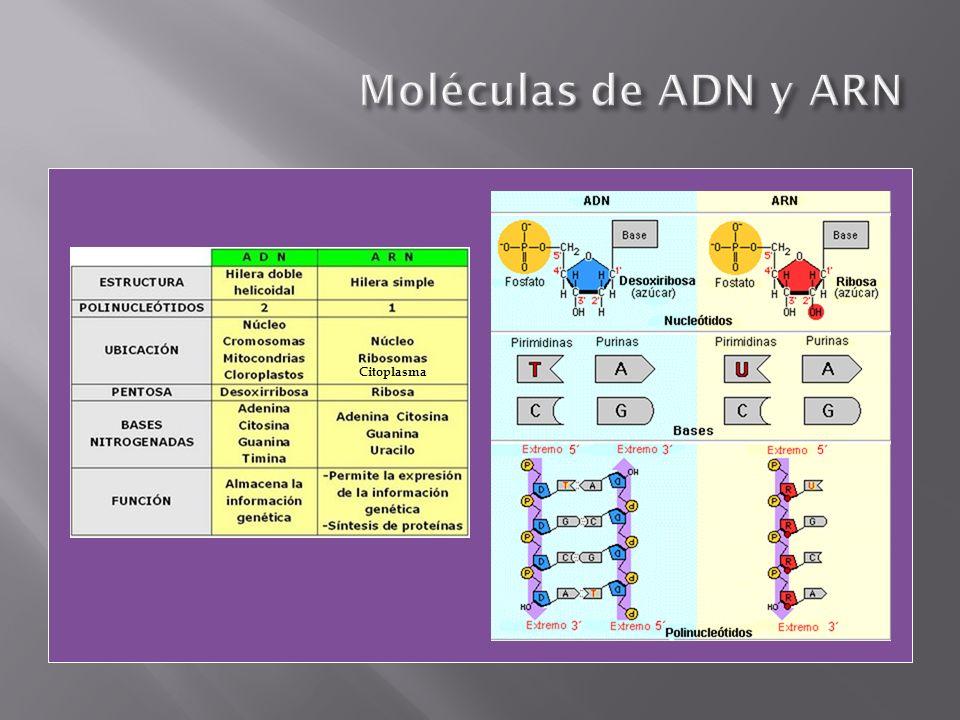 Moléculas de ADN y ARN Citoplasma
