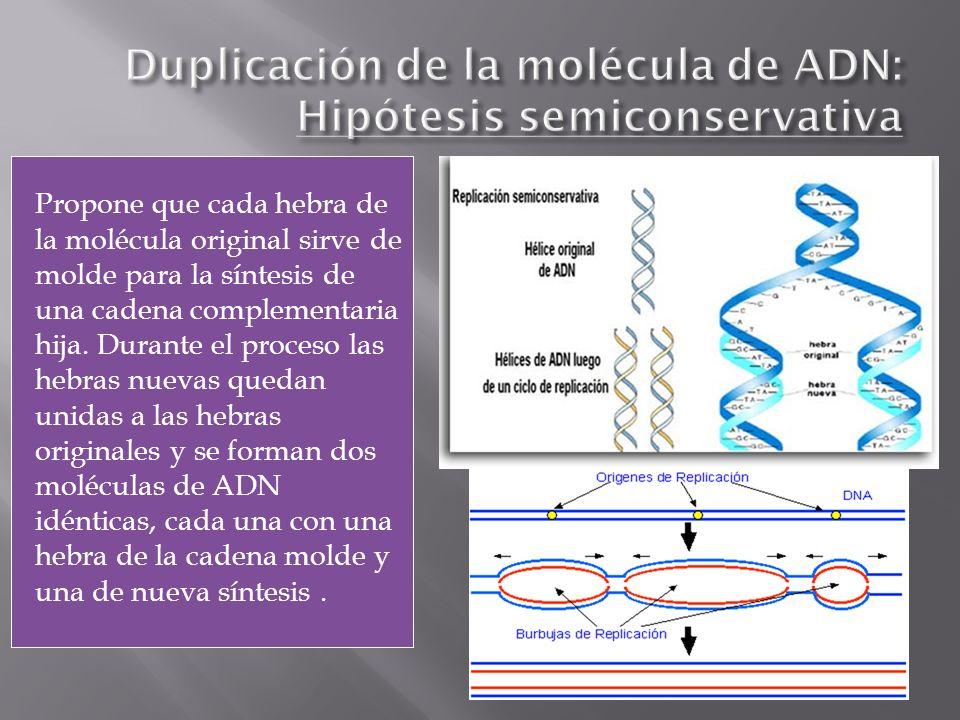 Duplicación de la molécula de ADN: Hipótesis semiconservativa