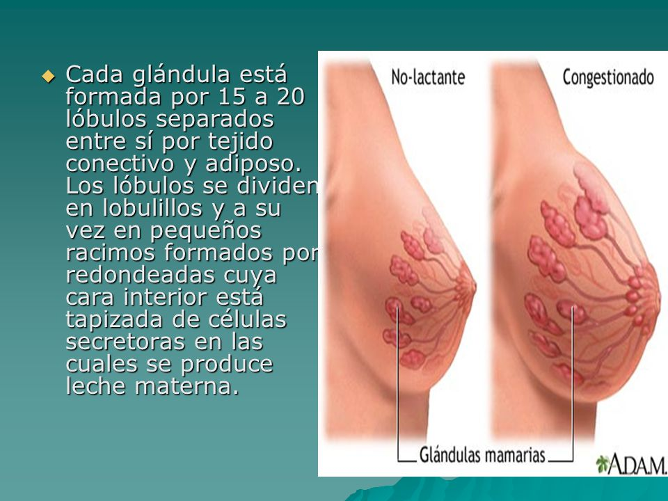 Cada glándula está formada por 15 a 20 lóbulos separados entre sí por tejido conectivo y adiposo.