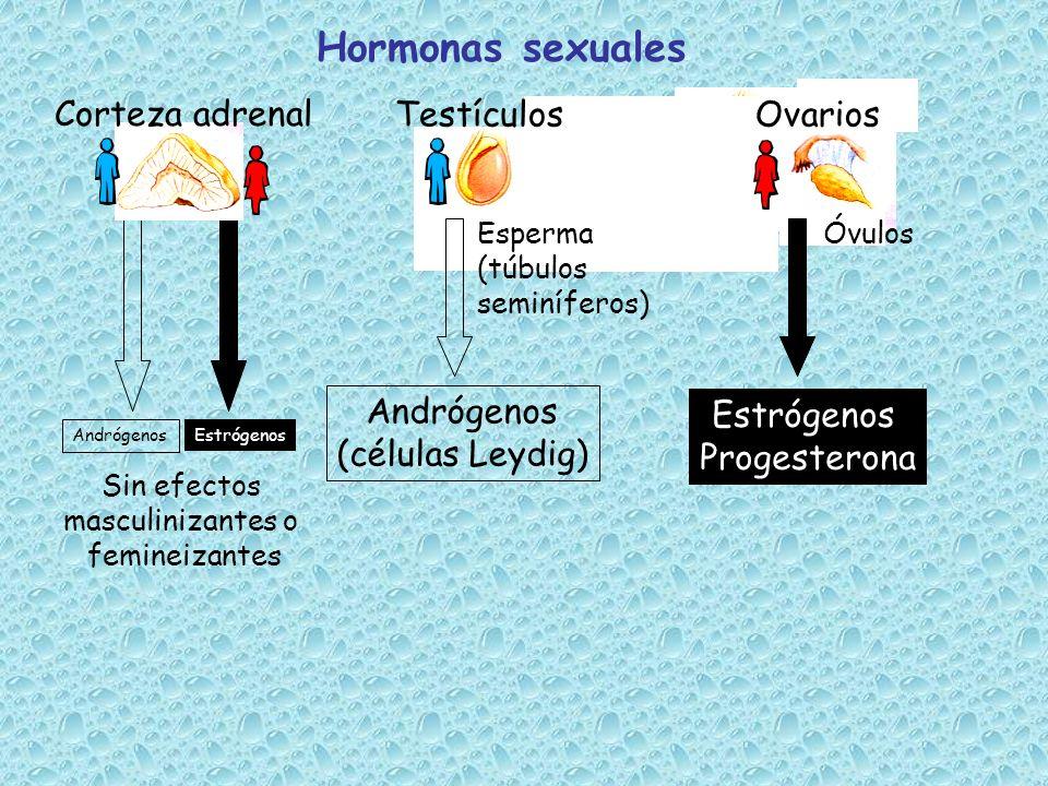 Hormonas sexuales Corteza adrenal Testículos Ovarios Andrógenos