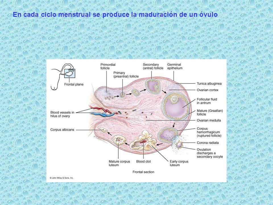 En cada ciclo menstrual se produce la maduración de un óvulo