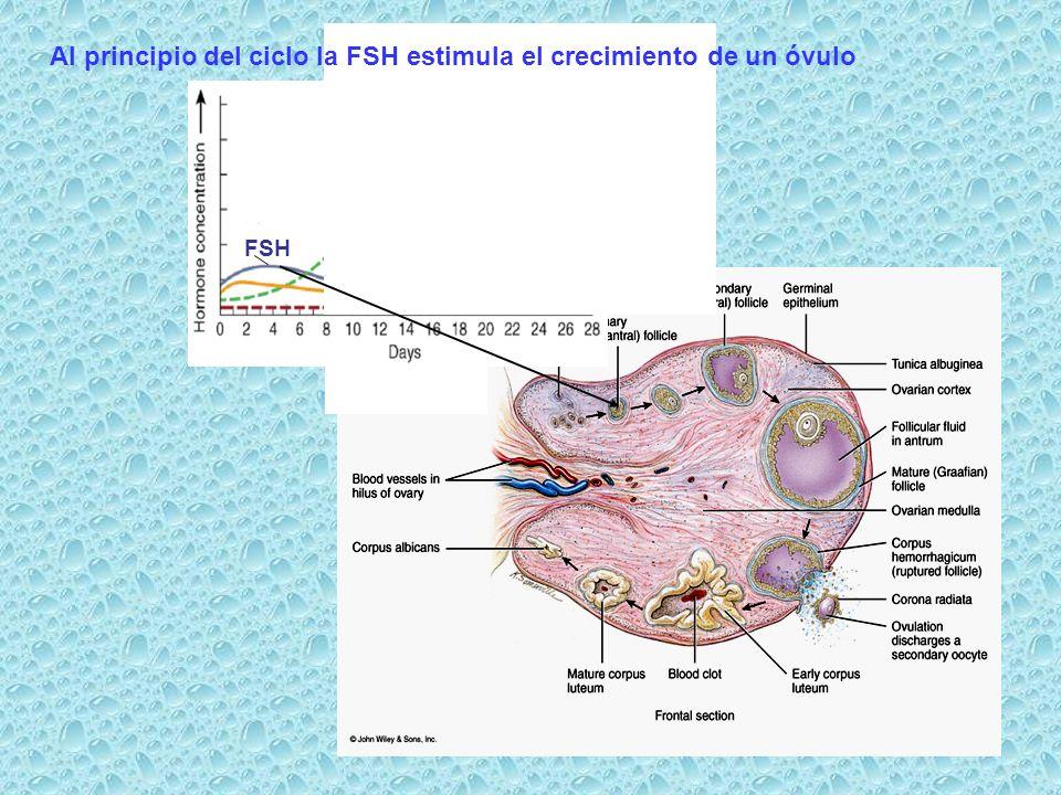 Al principio del ciclo la FSH estimula el crecimiento de un óvulo