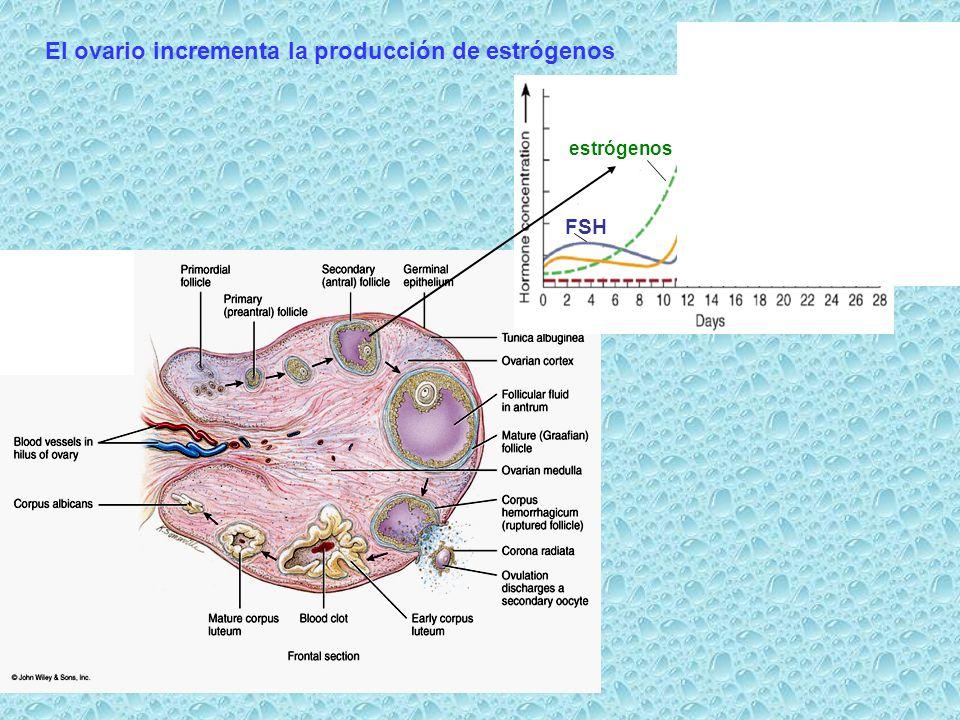 El ovario incrementa la producción de estrógenos