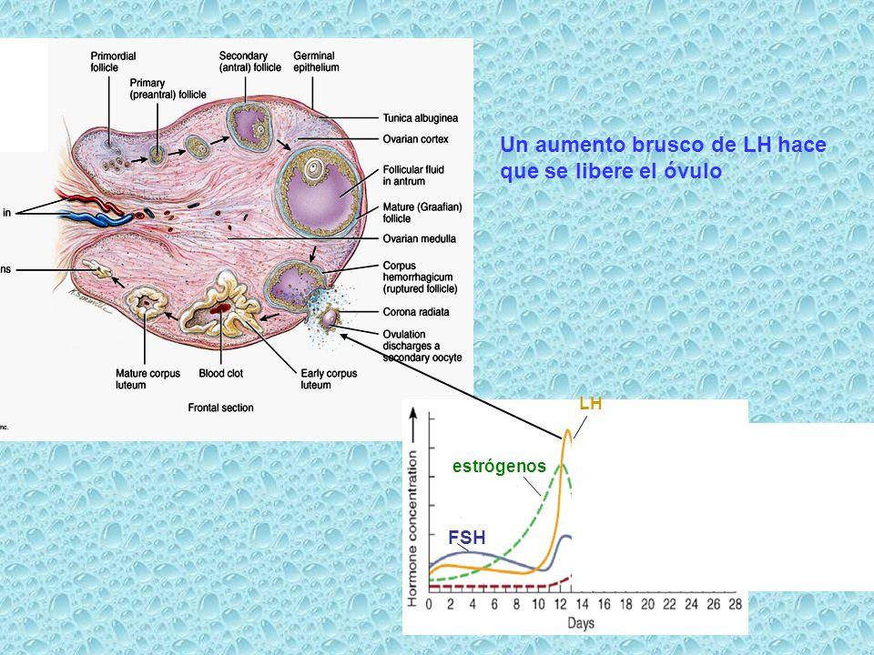 Un aumento brusco de LH hace que se libere el óvulo