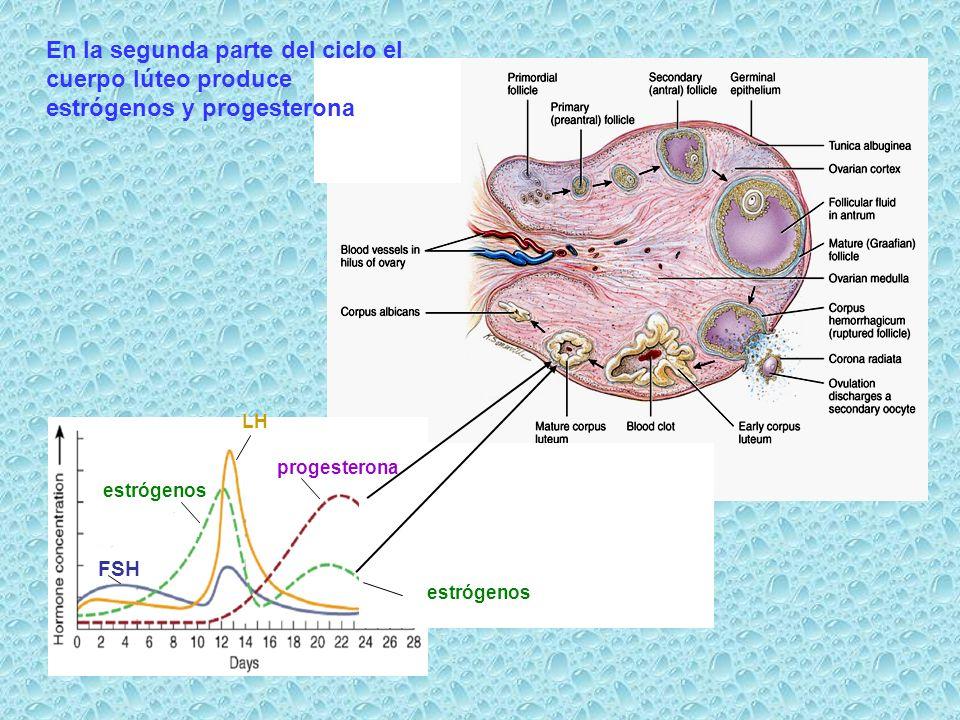 En la segunda parte del ciclo el cuerpo lúteo produce estrógenos y progesterona