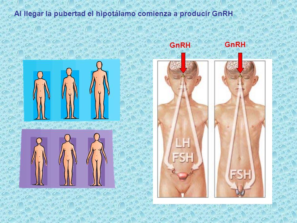 Al llegar la pubertad el hipotálamo comienza a producir GnRH