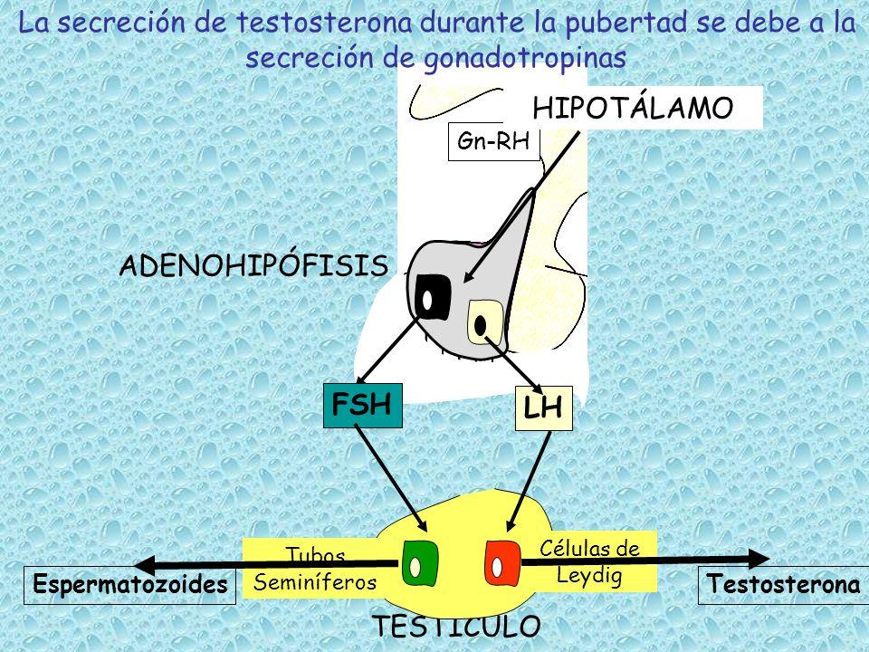 La secreción de testosterona durante la pubertad se debe a la secreción de gonadotropinas