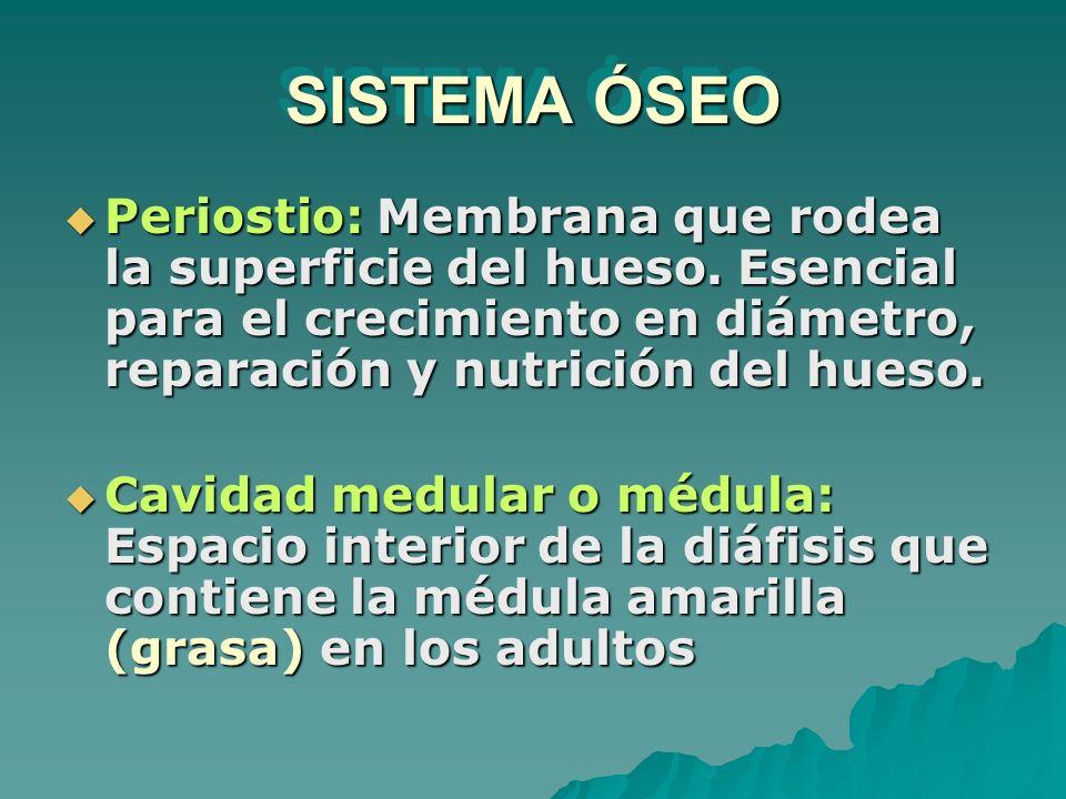 SISTEMA ÓSEO Periostio: Membrana que rodea la superficie del hueso. Esencial para el crecimiento en diámetro, reparación y nutrición del hueso.