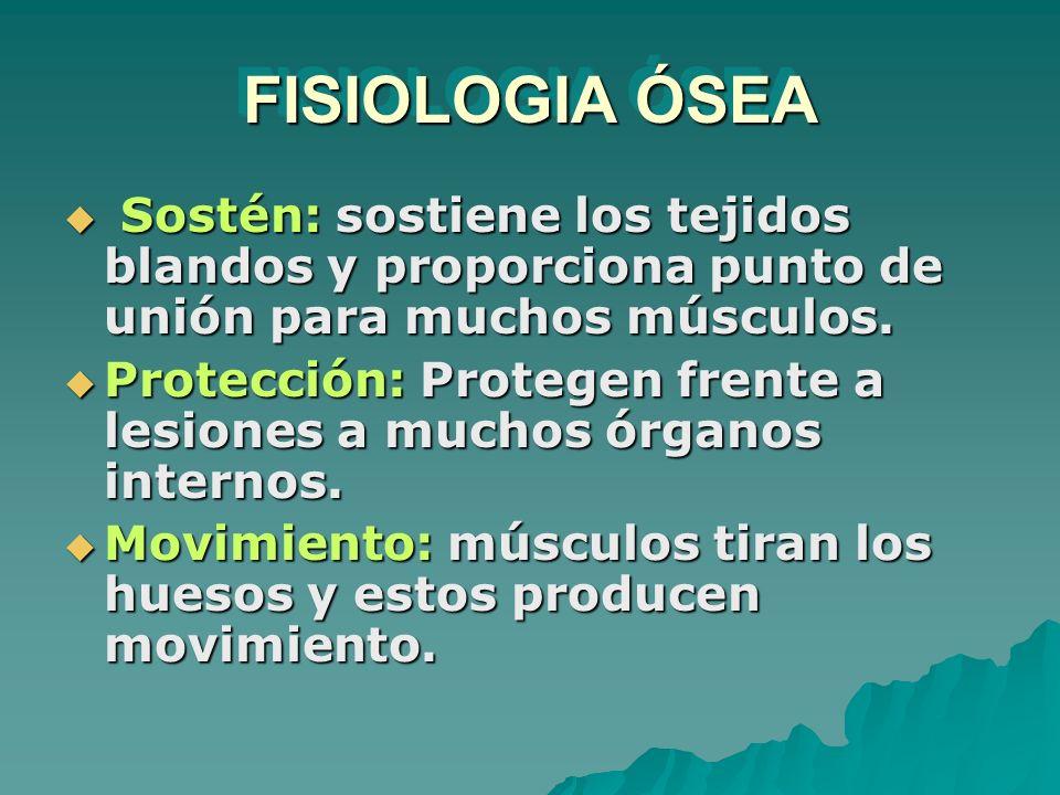 FISIOLOGIA ÓSEA Sostén: sostiene los tejidos blandos y proporciona punto de unión para muchos músculos.