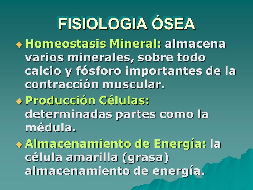FISIOLOGIA ÓSEA Homeostasis Mineral: almacena varios minerales, sobre todo calcio y fósforo importantes de la contracción muscular.