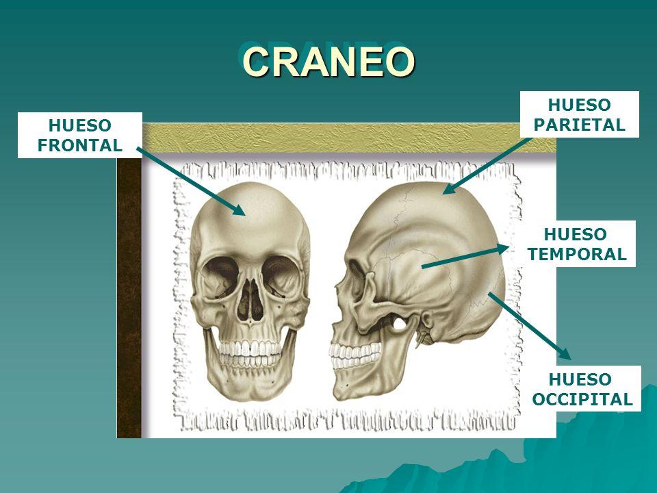 CRANEO HUESO FRONTAL HUESO PARIETAL HUESO OCCIPITAL TEMPORAL