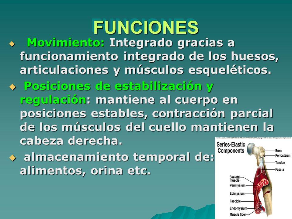 FUNCIONES Movimiento: Integrado gracias a funcionamiento integrado de los huesos, articulaciones y músculos esqueléticos.