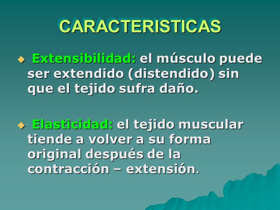 CARACTERISTICAS Extensibilidad: el músculo puede ser extendido (distendido) sin que el tejido sufra daño.