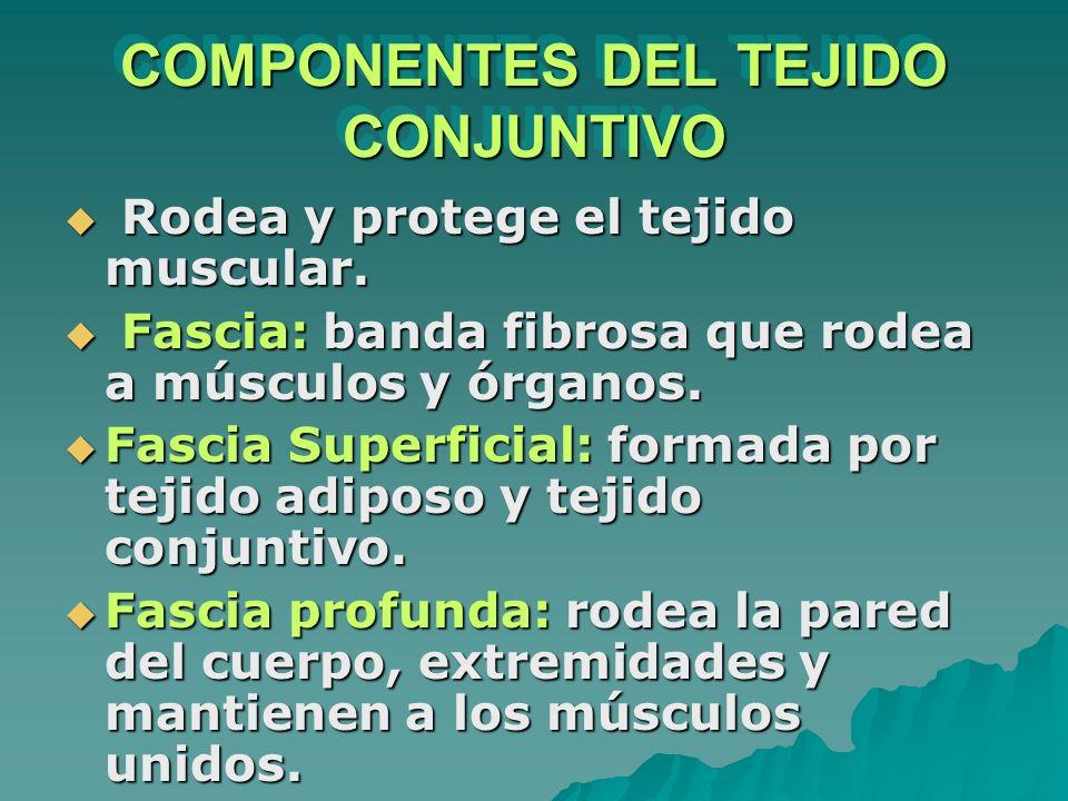 COMPONENTES DEL TEJIDO CONJUNTIVO