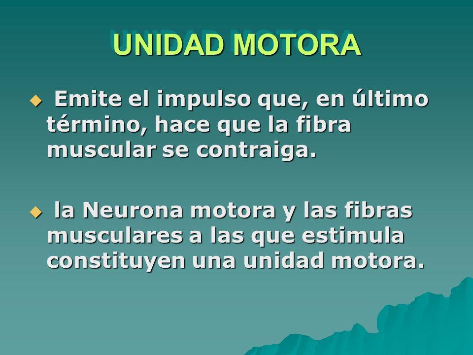 UNIDAD MOTORA Emite el impulso que, en último término, hace que la fibra muscular se contraiga.