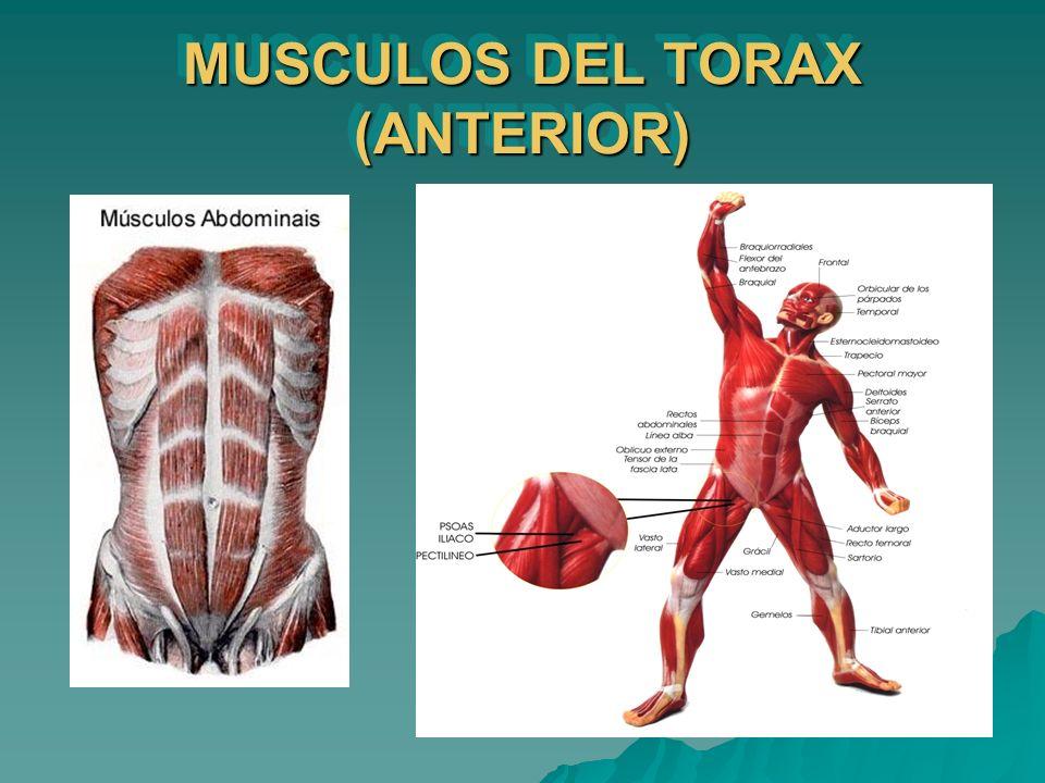 MUSCULOS DEL TORAX (ANTERIOR)