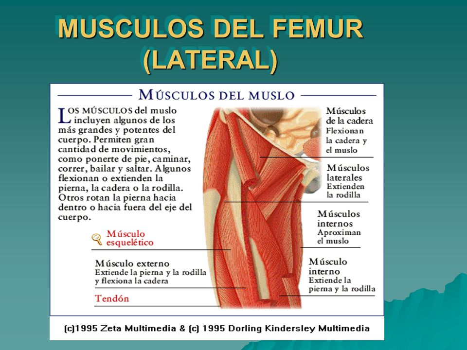 MUSCULOS DEL FEMUR (LATERAL)